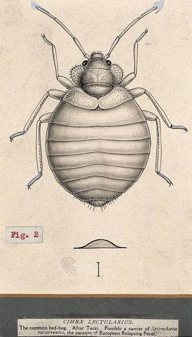 The_common_bedbug_(Cimex_lectularius)._Pen_and_ink_drawing_b_Wellcome_V0022600EL